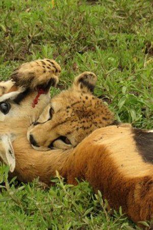Cheetah kills Antelope in Africa safari