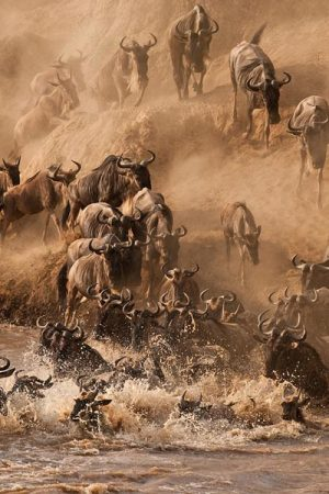 Wildebeest migration Africa safari