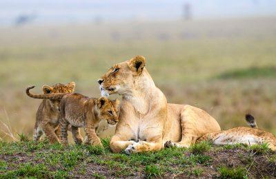 Africa safari. African Lions in Maasai Mara